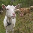 pastva koz