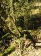 staré keře jalovců