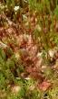 kvetoucí rosnatka okrouhlolistá