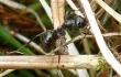 mravenec rašelinný