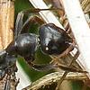 Nad Svitákem - mravenec rašelinný