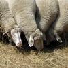 pastva ovcí na Velké Homolce, s výhledem na Vimperk (foto Jakub Hromas)