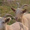 pastva koz na Ještěrčím ráji (foto David Číp)