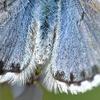 nejvzácnější obyvatel Velké Homolky - modrásek černočárný (foto Alois Pavličko)