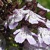 vstavače nachové mají nesmírně proměnlivé květy (foto Jan Moravec)