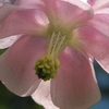 orlíček obecný - růžová forma (foto Jan Moravec)