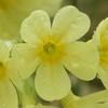 jeden z prvních jarních květů - prvosenka vyšší (foto Jan Moravec)