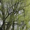 mohutná vrba na okraji louky (foto Jan Moravec)