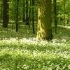 les s porostem kvetoucího česneku medvědího