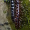 V Lyngu - stíněnka hnědočervená (foto Jan Moravec)