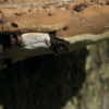 Opičák - troudnatec (foto Jan Moravec)