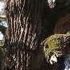 starý strom-Jinošovské_údolí_náhled